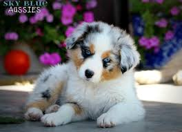 australian shepherd dog for sale 15 best australian shepard images on pinterest aussies puppies