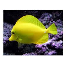 yellow tang fish gifts on zazzle