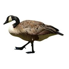 a canadian goose just marching along on land cutout animals