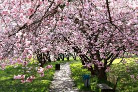 cherry blossom tree cherry blossom trees free image peakpx