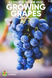 best 25 growing grapes ideas on pinterest grapevine growing