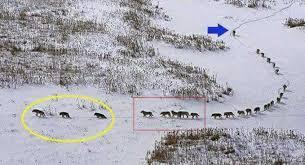 imagenes sorprendentes de lobos esta es la verdad detrás de la foto de una manada de lobos que nos