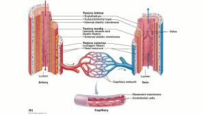 2 2 blood vessel structure university of pennsylvania coursera