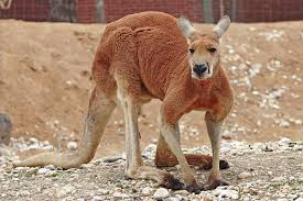 red kangaroo wikipedia