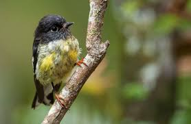 tomtit miromiro land birds native animals