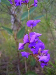 australian native plants with purple flowers australian native flowers gardens u0026 polka dots
