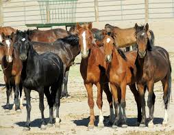 mustang org adopt a or two save a living legend protect mustangs