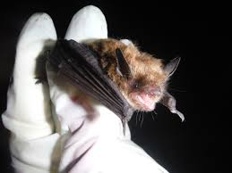 work by researchers to monitor protect bats critical as millions