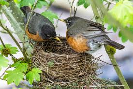 you u0027ve likely hosted more nesting robins than you think audubon