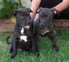 american pit bull terrier website 3 shepherd pit bull terrier puppies u0027 web page