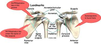 Anatomy Of Rotator Cuff Shoulder Anatomy Is Actually Four Joints Wrapped Up In One Arm