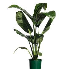 peace lilly spathiphyllum sensation peace hybrid 20cm 200mm