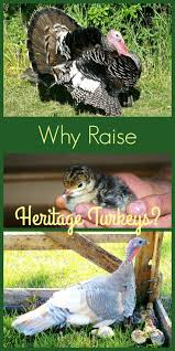 Raising Meat Chickens Your Backyard by 3313 Best Chickens And Other Poultry Images On Pinterest