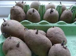 Container Gardening Potatoes - 14 best growing potatoes images on pinterest gardening tips