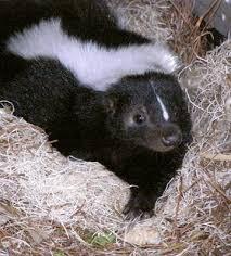 50 best skunks images on pinterest skunks cards and diets