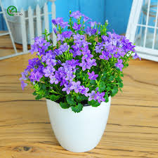 blumentopf balkon lila glockenblume in weißem blumentopf ideen für balkon und