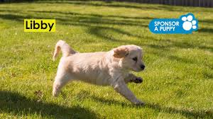 Sponsor A Puppy For The Blind Sponsored Puppy Libby Youtube