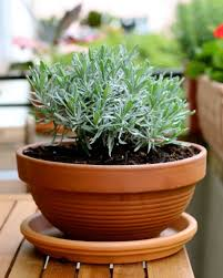 Fragrant Plants For Pots Flowers And Herbs Perfect For A Balcony Garden Newly Swissed