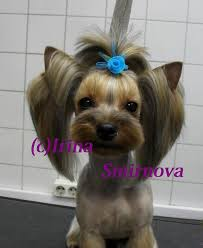 pictures of puppy haircuts for yorkie dogs pin by cheryl christensen on i love my yorkie maggie