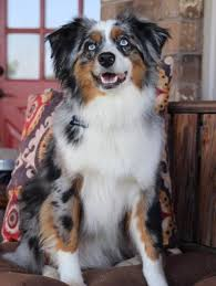 australian shepherd 1 year old available mini aussies texas mini aussie rescue