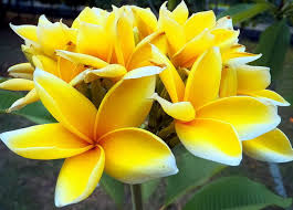 frangipani plumeria bunga kamboja wildlife and nature