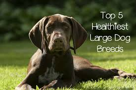 what are the most healthy dog breeds dogvills