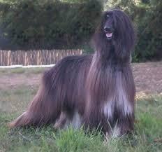 afghan hound breeders victoria phelezzi prometheus ahi afghan hound pedigree database