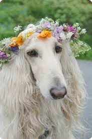 afghan hound gif golden afghan hound colour deffinition google search dogs