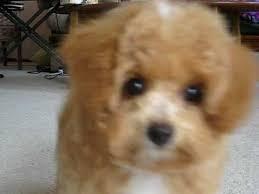 bichon frise cute cute 14 week old toy poodle bichon frise after bath fluffball