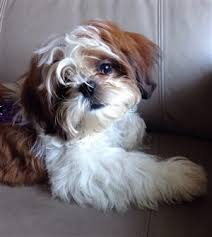haircuts for shih tzus males how to groom a shih tzu techniques for a puppy or adult tzu