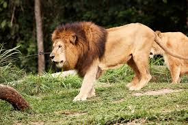 imagenes de leones salvajes gratis par de leones caminando salvaje foto gratis en pixabay