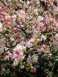 japanese flowering crabapple tree malus floribunda flowers