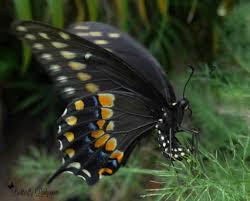 raising black swallowtail butterflies for butterfly