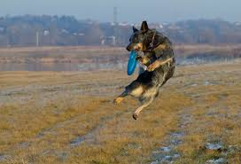 westminster australian shepherd 2014 get to know the australian cattle dog a dingo descendant from