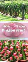 best 25 dragon fruit tree ideas on pinterest dragon fruit plant