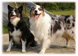 australian shepherd or border collie australian shepard austrailian shepards pinterest