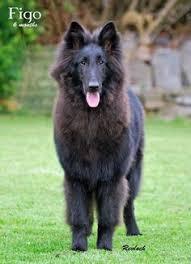 belgian shepherd uk tervuren dog photo belgian tervuren belgian tervuren purebred