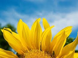 foto wallpaper bunga matahari kelopak bunga matahari wallpaper bunga alam alam wallpaper download