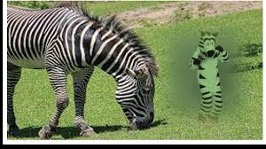 Make Your Own Video Meme - how to make your own justaddzebras dancing zebra meme no video