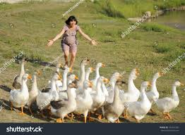 funny pregnant running geese stock photo 134721332 shutterstock