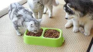 two american shorthair kittens and siberian husky puppy eating dry