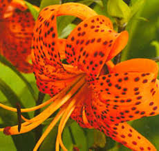 tiger lillies facts about tiger lillies orchid flowers