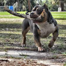 what is the best food to add muscle to my pit bull or american bully