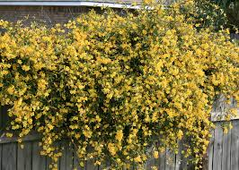 Fragrant Climbing Plants Plant Flowering Vines Now For Great Show Next Spring Mississippi