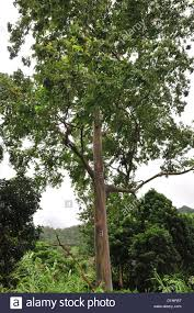 rainbow eucalyptus eucalyptus deglupta stock photos u0026 rainbow