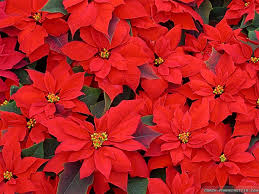 christmas flowers flowers for christmas 11 background wallpaper