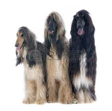 us afghan hound afghan hound in front of white background stock photo picture and