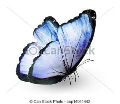stock photo of blue butterfly isolated on white csp14041442