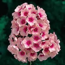 phlox flower phlox bright at wayside gardens