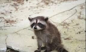 Meme Generator Raccoon - sad raccoon blank template imgflip